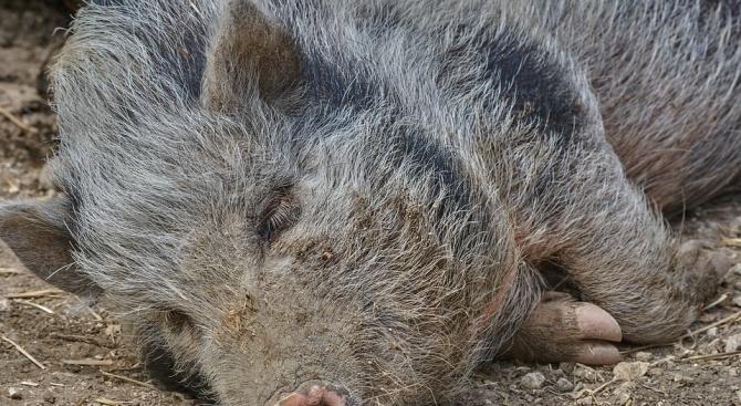 Нова положителна проба за чума при мъртво диво прасе е