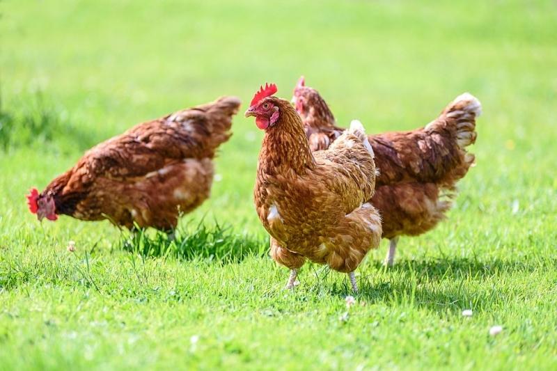 Откриха силно патогенен птичи грип във Филипините