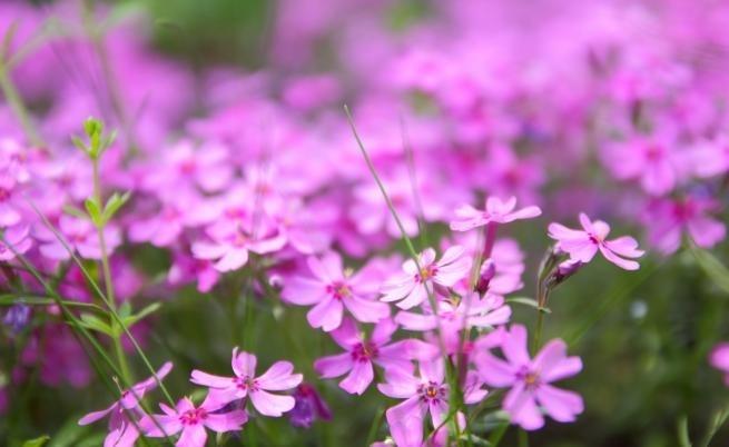 """Наричат върбинката """"цветето на ентусиазма"""". Вярва се, че в миналото"""