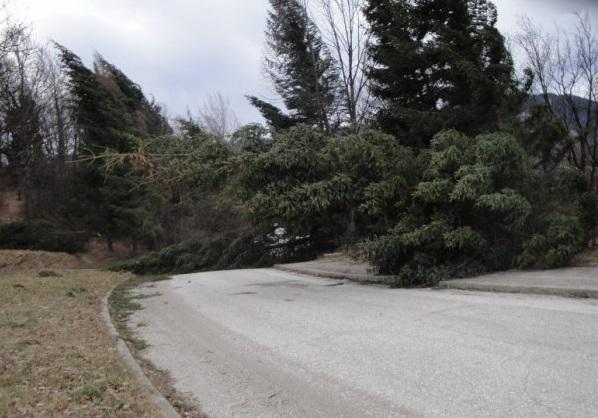 Почна се! Изкоренен от вятъра бор препречи път в Монтанско