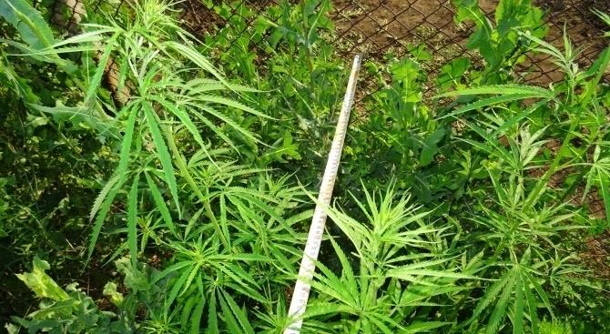 33 растения канабис са открити в дворно място на имот