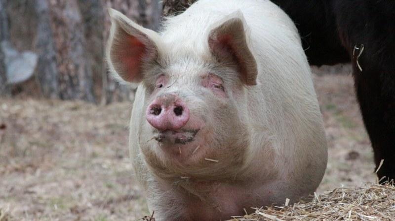 Очаква се да започне умъртвяването на прасетата от заразения с