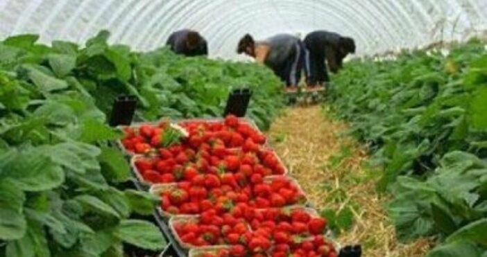 Британското правителство ще увеличи годишната имиграционна квота за сезонни селскостопански