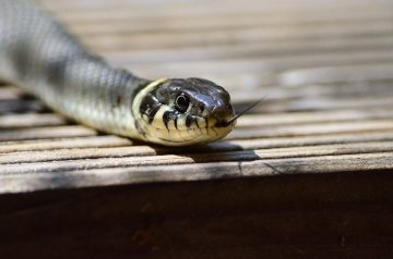 Снимка: Змия изкара акъла на хора в Монтанско, влязла в стаята им