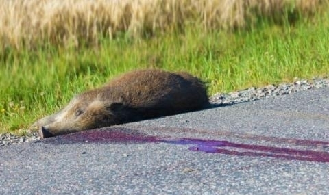 Още два случая на заразени с африканска чума диви прасета