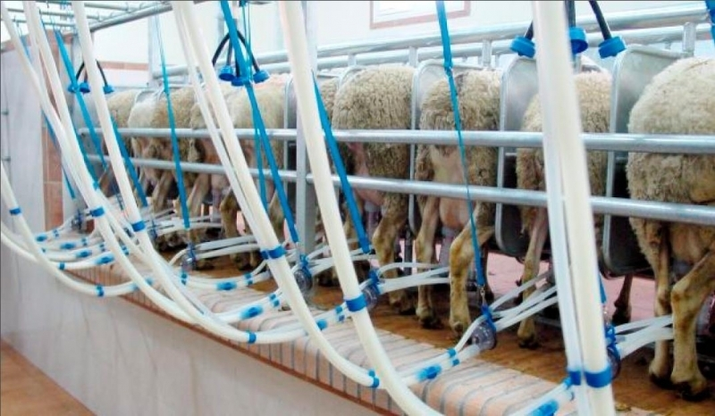 Обявиха на търг доилна инсталация за овце и кози, научи