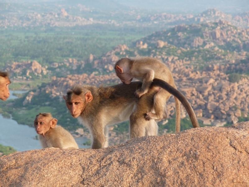 Новородено беше отвлечено от маймуна в източната индийска провинция Одиша,