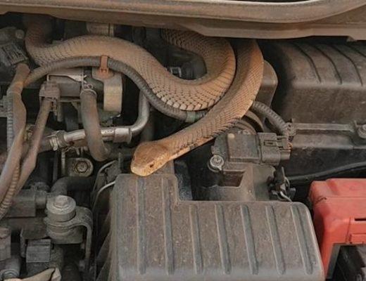 В изключително стресова ситуация попаднали автомонтьори от Монтана. Змия се