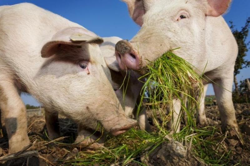 Първитеслучаи на Африканска чума по свинете са открити в Южна