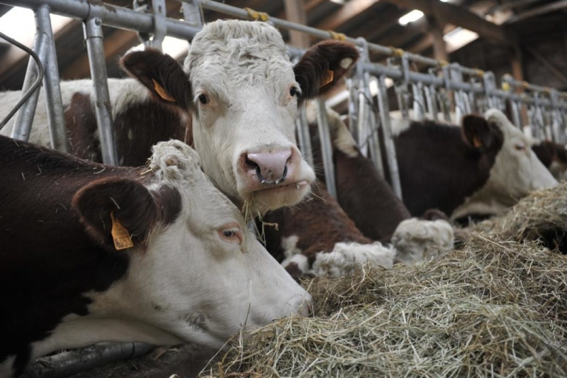 Частен съдебен изпълнител обяви за продан стадо крави на затънало