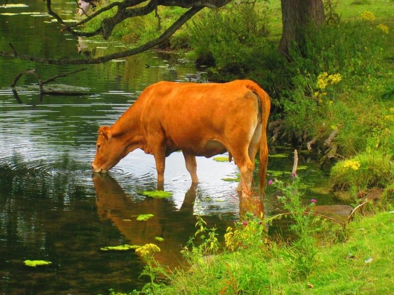 Животновъд изгуби две крави след водопой от замърсен микроязовир в Монтанско