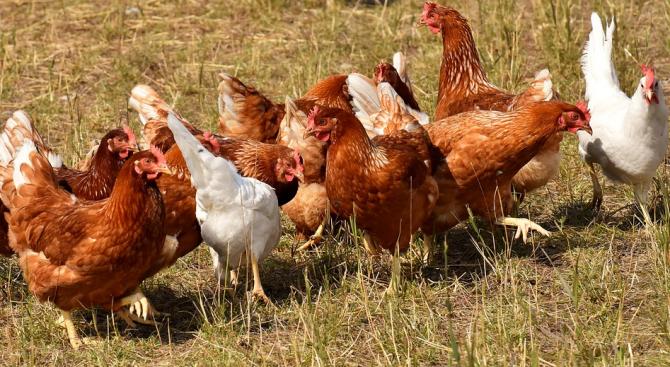 Първично огнище на птичи грип е констатирано от Българската агенция