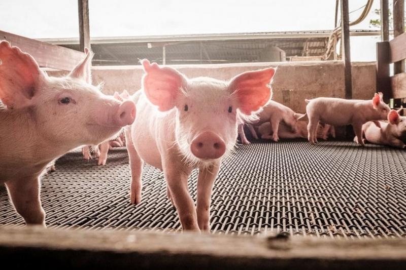 Започва подаването на заявления за обезщетение на собствениците на прасета