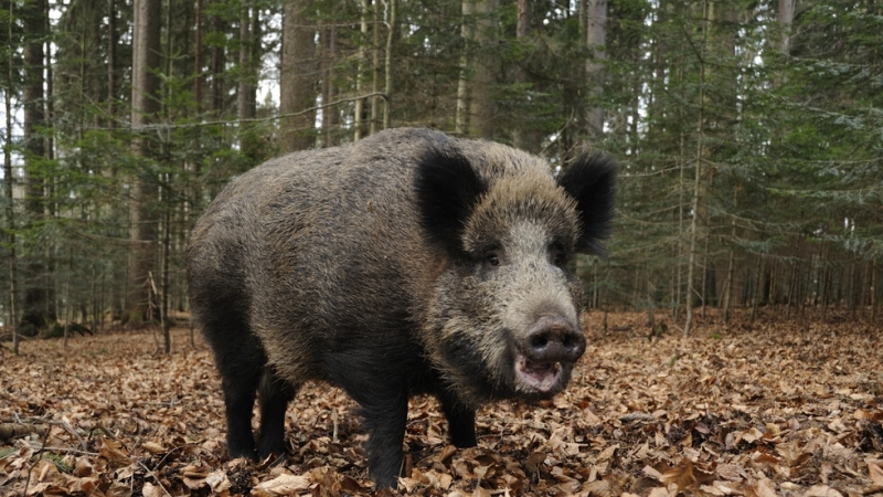 Откриха африканска чума по диви свине в Берковско