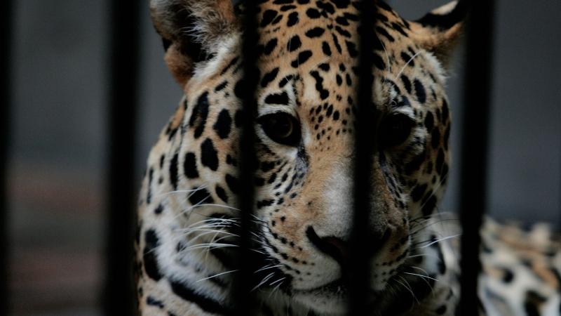 Ягуар уби шест животни и рани три други при бягството